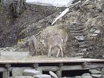 かんの温泉の鹿